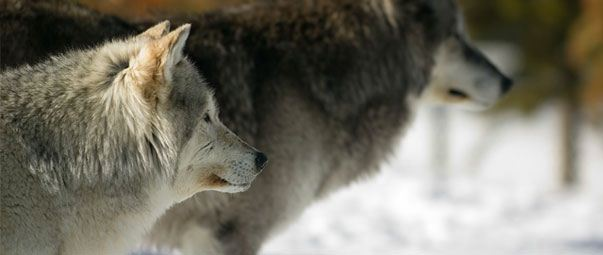 How Wolves Will Help Shape the Collaborative Economy